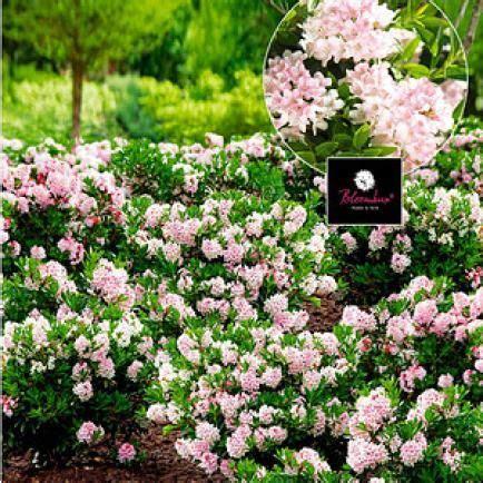 rhododendron durch stecklinge vermehren rhododendron durch ableger vermehren garten garten pflanzen und bloombux