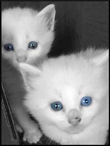 Cute White Cats With Blue Eyes 2016 | Rachael Edwards
