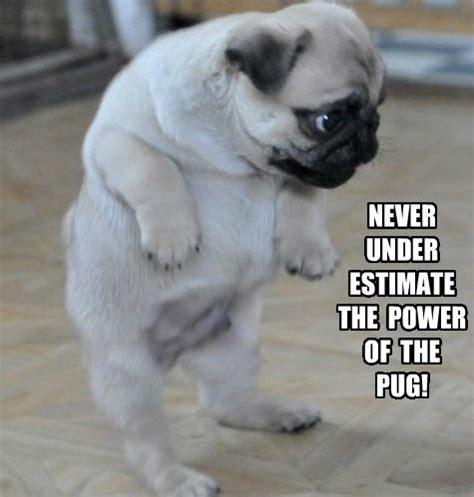 Funny Pug Memes