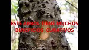 Cuachalalate Arbol Medicinal Propiedades Naturales