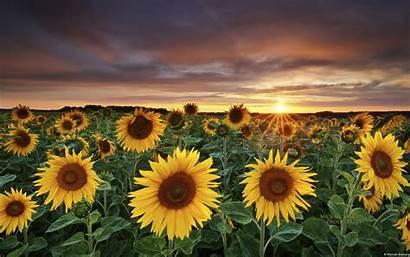 Country Desktop Field Sunflower