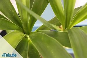 Yucca Palme Braune Blätter : yucca palme pflege yucca gigantea garten palme palmen ~ Lizthompson.info Haus und Dekorationen