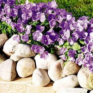 Weiße Stauden Mehrjährig : wunderbares glockenspiel die campanula w chter pflanzencenter ~ Eleganceandgraceweddings.com Haus und Dekorationen