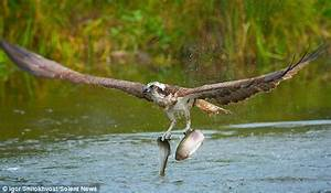 Osprey swoops and snatches two fish in Kangasala in ...