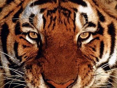 Desktop Tiger Wallpapers Background Tigers Cool Tigre