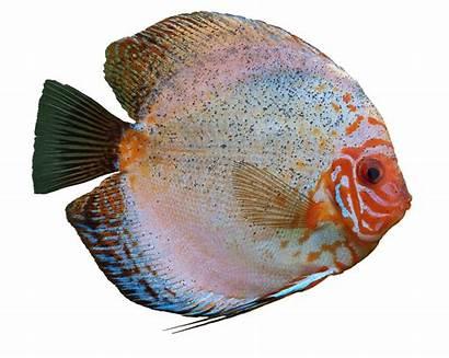 Fish Aquarium Discus Cichlid Freshwater Colorful Cichlids