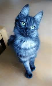 blue cat black smoke turkish angora cat did you see a blue
