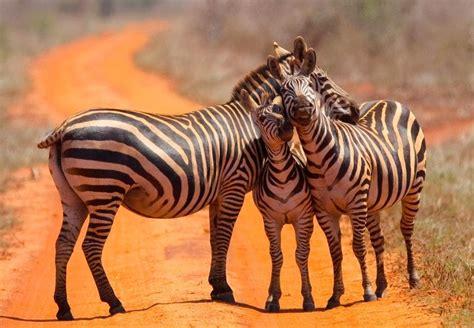 Zebra Family In Kenya