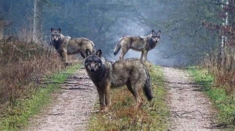 le retour du loup en allemagne le du bureau de berlin