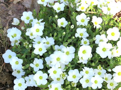 ground cover with white flowers sandwort arenaria montana perennial plants live plants rock garden plant white flowers