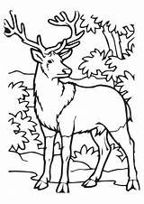 Elk Peaceful Coloring Calm Imgcolor sketch template