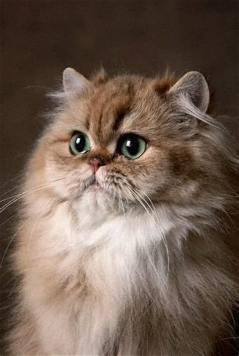 Lovely Pets Blog Persian Cat