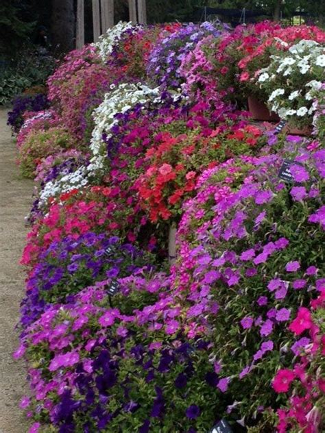 wave petunias ball seed  annuals pinterest
