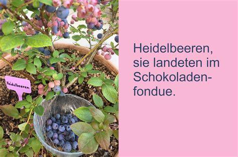 heidelbeeren erntezeit wald edgarten heidelbeeren auf dem balkon und im wald