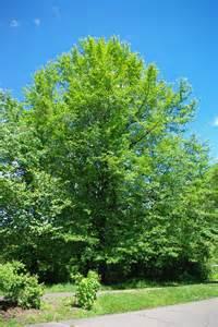 danze parma kitchen faucet 28 tree the tree victor a leonard file liquidambar