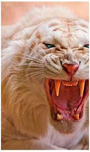 Kissaeläimet Felidae - Valkoiset tiikerit