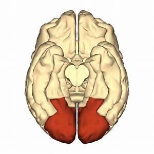 File Cerebrum - Occipital Lobe