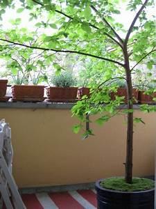 Winterharte Bäumchen Für Balkon : baum auf meinem balkon ulmus laevis ~ Buech-reservation.com Haus und Dekorationen