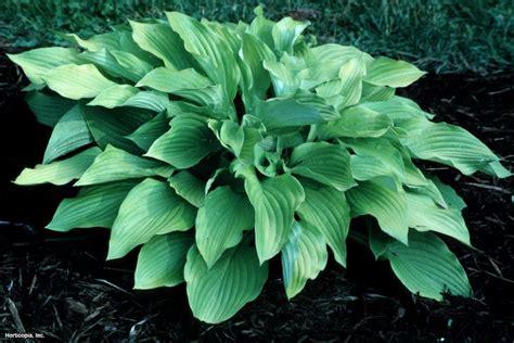 hosta varieties hosta varieties for your shade garden hgtv