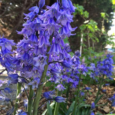 gambar menanam bunga batu yakut scilla tanaman