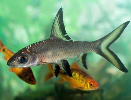 loach species     aquarium