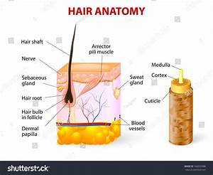 Diagram Hair Follicle Cross Section Skin Stock