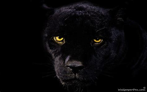 Black Jaguar Wallpapers