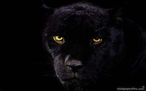 Black Jaguar Animal Wallpaper Hd - black jaguar wallpapers wallpaper cave
