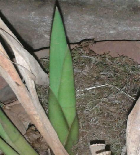 floraison  des cymbidium lowianum la planete des