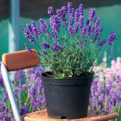 Lavendel Im Topf überwintern : winterschutz f r topf kr uter mein sch ner garten ~ Frokenaadalensverden.com Haus und Dekorationen