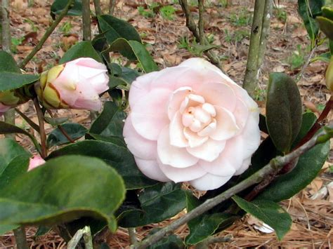 light pink camellia marilyn s florida garden march flowers in bloom