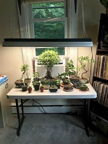 Indoor Setup Bonsai Tropical