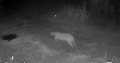 Video: Captan imagen de un puma en Rowlett, la primera vez ...