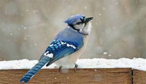 Zilais sīlis un citi putni paši spēj uzturēt savu spalvu ...