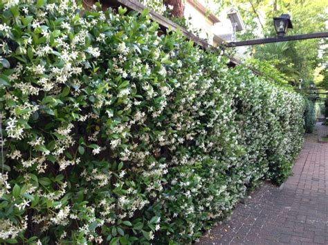 Wall Of Star Jasmine, Plant Near Windows So The Fragrance