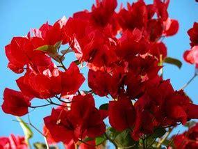 comment faire fleurir un bougainvillier en pot bougainvillier plantation taille et conseils d entretien