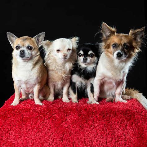 le migliori razze  cani da appartamento evicus