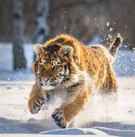 Best Animals Tigers Images Pinterest Wild