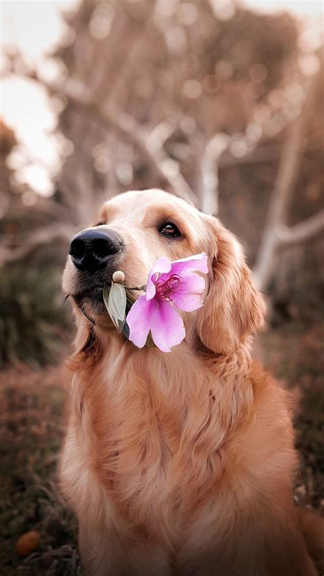 dog holding flower photo  dog image  unsplash