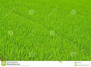 Rice Trees In Farm Stock Image  Image Of Economical