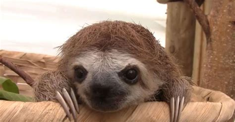 lazy sloths squealing    scream video