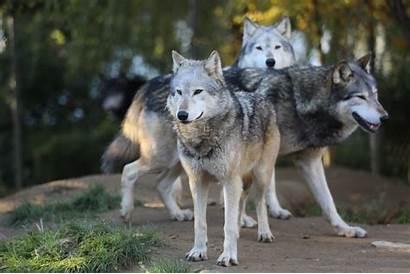 Wolf Pack Growing Oregon Outdoorhub