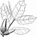 Oak Coloring Pages Coast Tree Printable Drawing Getdrawings Supercoloring Leaf Dark sketch template