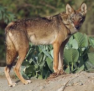Animal En G : arabian wolf wikipedia ~ Melissatoandfro.com Idées de Décoration