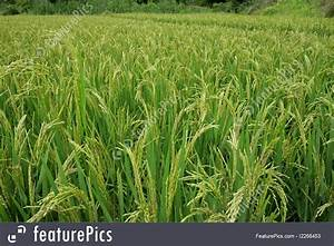 Picture Of Chinese Rice Field