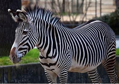 Zebra Animals Wallpapers Zebras Definition Sebra Animal