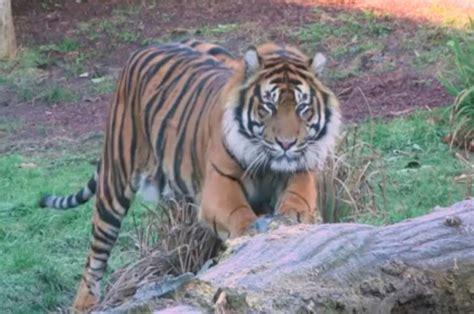 tiger kills  potential mate   face  face