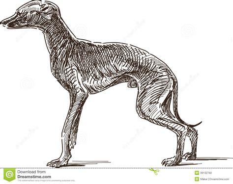 foto de Italian greyhound stock vector Illustration of hunting