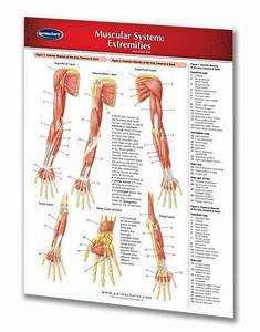 Muscular System Lower Extremities