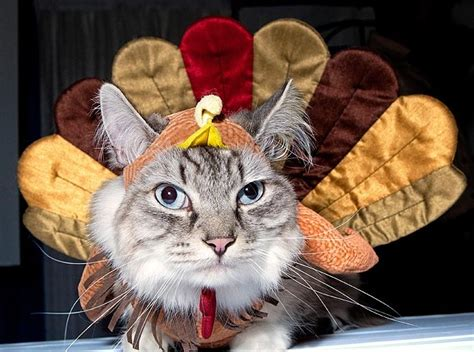 thanksgiving cat here are 40 animals who are more ready for thanksgiving than you are
